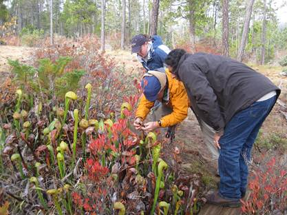 Parratt checks Darlingtonia
